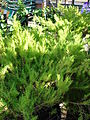 Starr 080103-1211 Coleonema pulchellum.jpg