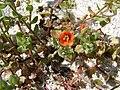 Starr 080604-5962 Anagallis arvensis.jpg