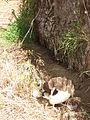Starr 080611-8555 Cyperus involucratus.jpg