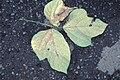 Starr 981208-2623 Pueraria montana var. lobata.jpg