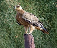 Steppe Eagle, Pokaran, district Jaisalmer, Rajasthan, India.jpg