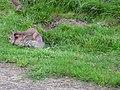 Stoat killing a rabbit (1) - geograph.org.uk - 946694.jpg