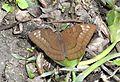 Streaked Baron Euthalia alpheda jama by Dr. Raju Kasambe DSCN2397 (10).jpg