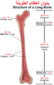 Structure of a Long Bone Arabic YM.png