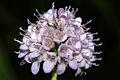 Succisella inflexa PID869-2.jpg