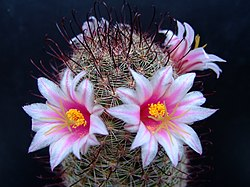meaning of mammillaria