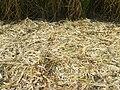 Sugar cane skin.jpg