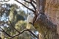 Sulphur-crested cockatoo Adult.jpg