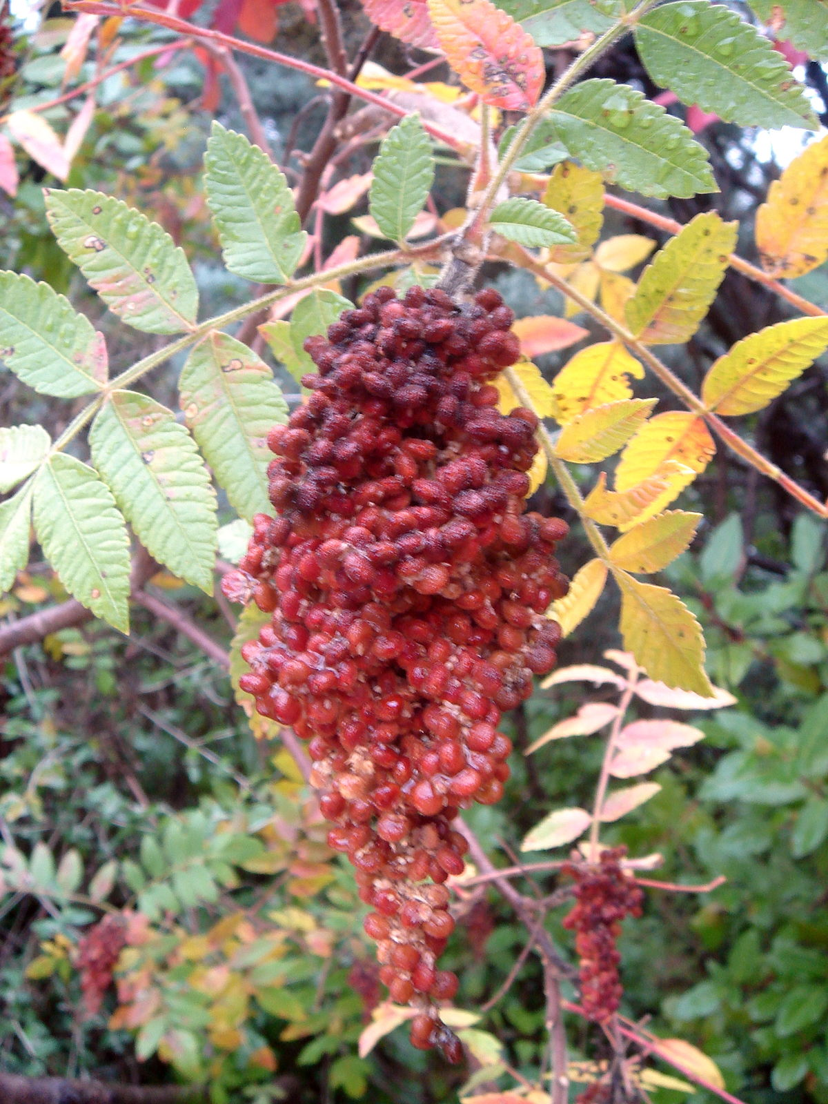Sumac Simple English Wikipedia The Free Encyclopedia