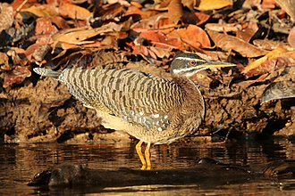 Sunbittern - on Cristalino River Southern Amazon, Brazil