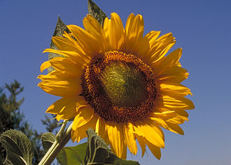 Green politics - Image: Sunflower 10094