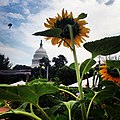 Sunflowers in bloom at U.S. Botanic Garden. -dc -capitol (9406980071).jpg