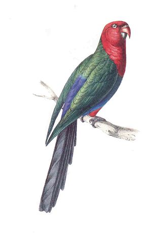 William John Swainson - Image of a colour lithograph of a Moluccan king parrot produced by Swainson in the first volume of Zoological Illustrations