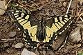 Swallowtail - Papilio machaon (43455239625).jpg