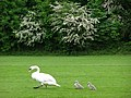 Swan and cygnets close to the Itchen Navigation, Winchester - geograph.org.uk - 175582.jpg