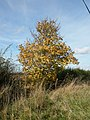 Sycamore tree by the Knapwell road - geograph.org.uk - 1037120.jpg