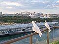 Sydney cockatoos 1 - panoramio.jpg