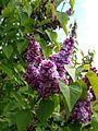 Syringa 8 (Poltava Botanical garden).jpg