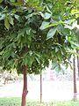 Syzygium samarangense (Rose apple) tree in RDA, Bogra 01.jpg