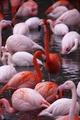 TPH Flamingo.tif