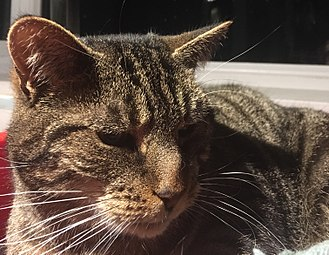 Tabby cat - The dark lines on a Mackerel tabby's cheeks