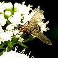 Tachinid Fly (31016947103).jpg