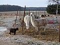 Tachlovice, zvířata v ohradě u přejezdu P10441.jpg