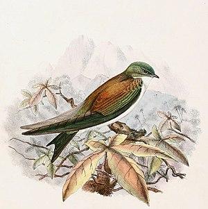Golden swallow - The nominate subspecies, T. e. euchrysea