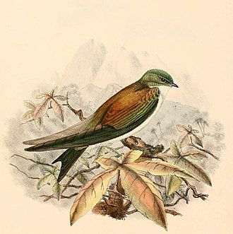 Golden swallow - The nominate subspecies, T. e. euchrysea