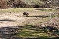 Tachyglossus aculeatus (Short-beaked Echidna), Moora Track, Grampians National Park, Victoria Australia (5043618235).jpg