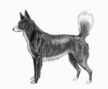 Tahltan Bear Dog sketch2.jpg