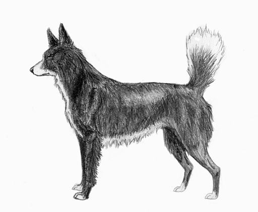 Tahltan Bear Dog sketch2