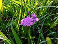 Tajimagahara Wild Primrose 05.jpg