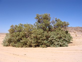 Tamarix - A Tamarix aphylla specimen in its natural habitat in Algeria