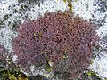 Tamarisk Scalewort (Frullania tamarisci) - geograph.org.uk - 1182133.jpg