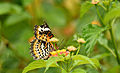 Tamil Lacewing butterfly perching on a flower.jpg
