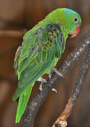 Green parrot with blue nape and red beak
