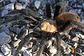 Tarantula - Flickr - GregTheBusker (6).jpg