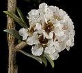 Taxandria inundata - Flickr - Kevin Thiele.jpg