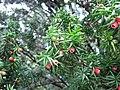 Taxus baccata, el tejo común, tejo negro (9).jpg