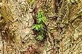 Taxus uitgezaaid in een knotwilg. 28-07-2019. (d.j.b). 02.jpg