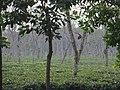 Tea gardens Srimangal Sreemangal Upazila Moulvibazar Maulvibazar Moulavibazar Sylhet 15.jpg