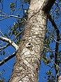 Tetrameles nudiflora Bark (1).jpg