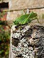 Tettigonia viridissima Ghirardi 01.JPG