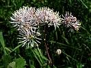 Thalictrum aquilegiifolium20110612 173.jpg