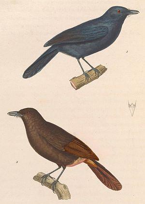 Cinereous antshrike - Image: Thamnomanes caesius 1838