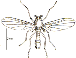 Thaumalea testacea adult (from Walker).png