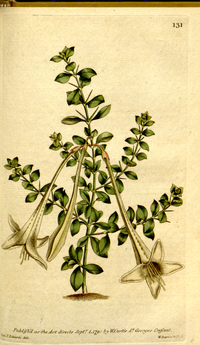 The Botanical Magazine, Plate 131 (Volume 4, 1791)