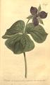 The Botanical Magazine, Plate 470 (Volume 14, 1800).png
