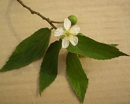 The Muntingia calabura flower are small and white.JPG